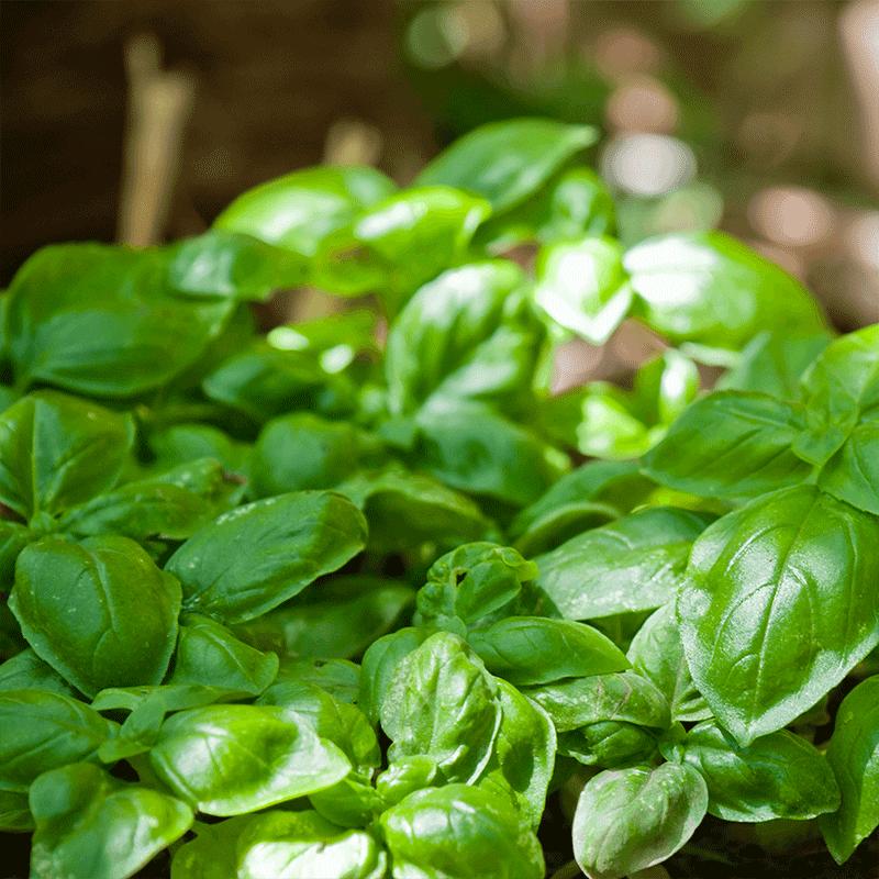bio-basilikum-vitamin-b